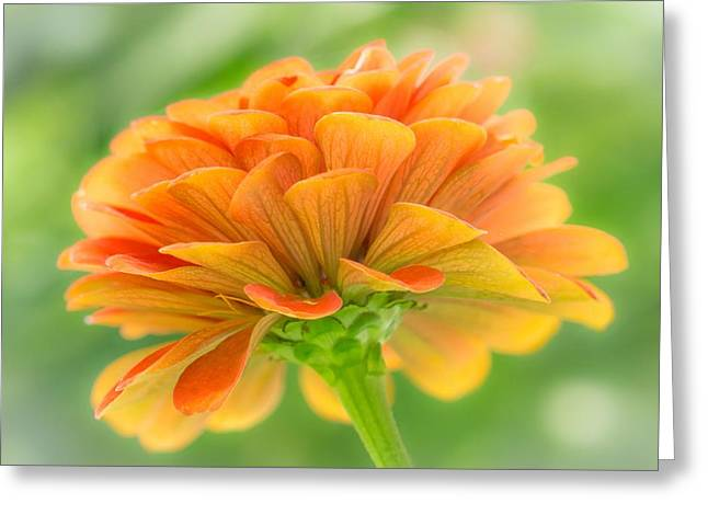Zinnias Greeting Cards - Orange Zinnia  Greeting Card by Jim Hughes