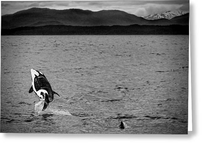 Waterlife Greeting Cards - Orcas or Killer Whales Greeting Card by Kay Brewer
