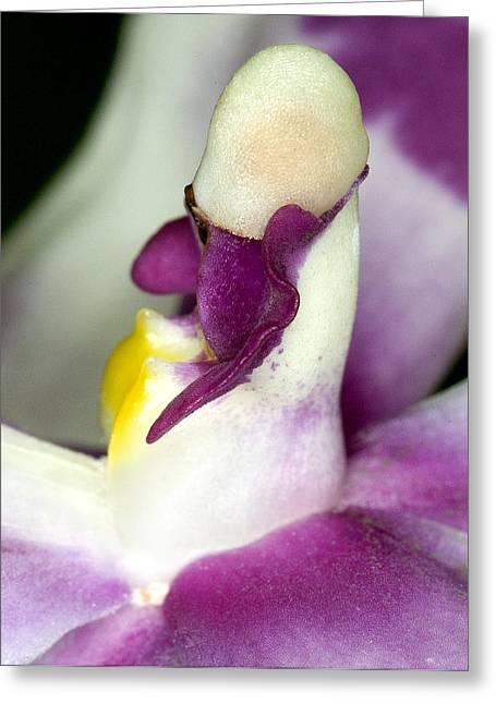 Flower Blossom Greeting Cards - Orchid Flower Bloom Greeting Card by C Ribet