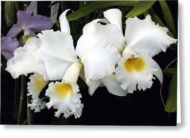 Orchids In White Greeting Card by Mindy Newman