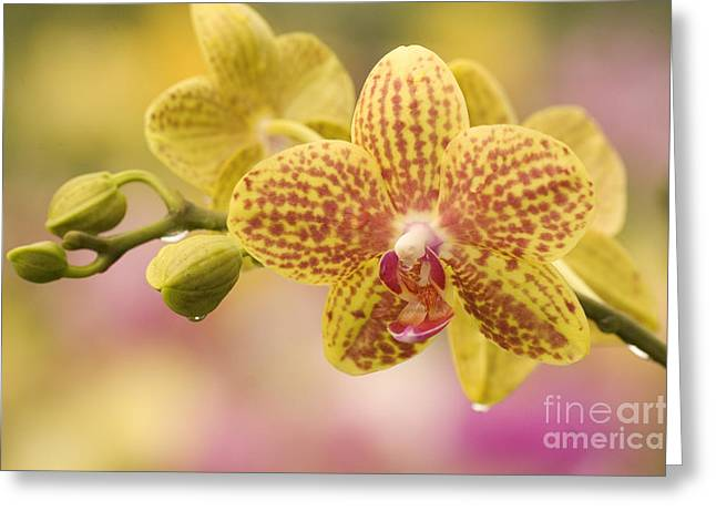 Dewdrops Greeting Cards - Orchids With Dewdrops Greeting Card by Ron Dahlquist - Printscapes