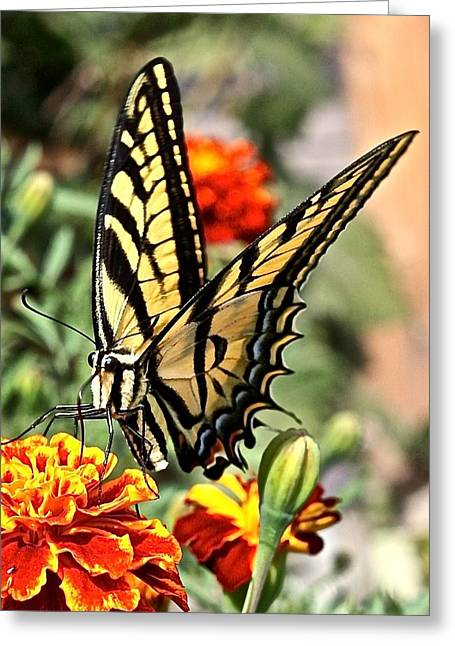 Oregon Swallowtail Butterfly  Greeting Card by Brent Sisson