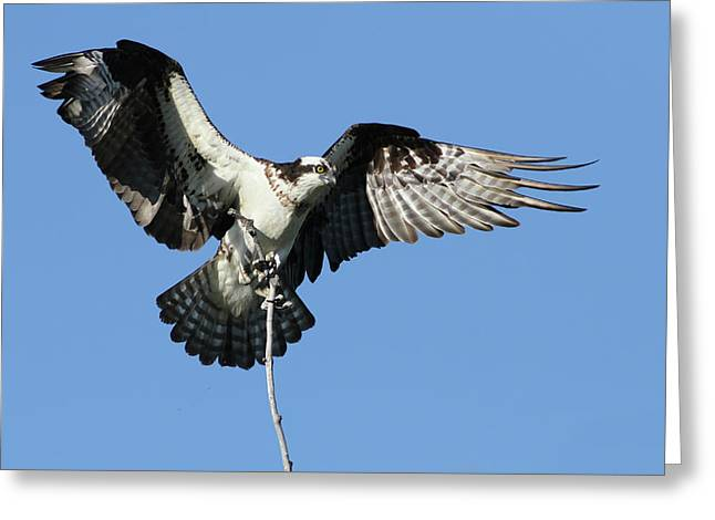 Eys Greeting Cards - Osprey Greeting Card by Mircea Costina Photography