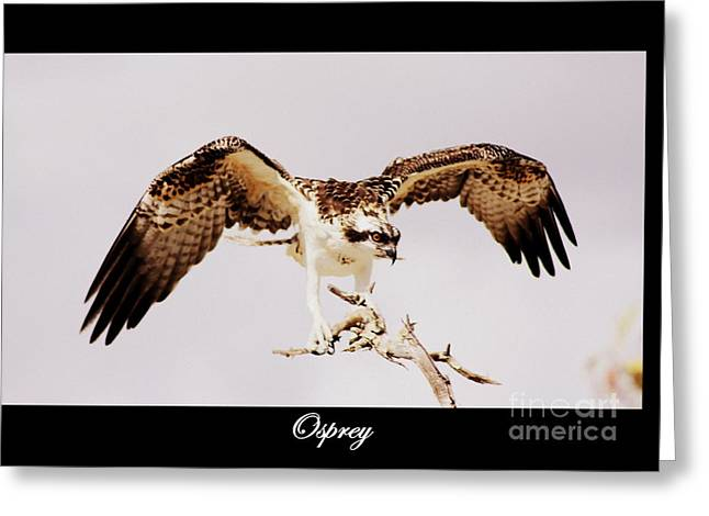 Texting Greeting Cards - Osprey Greeting Card by Patti Whitten