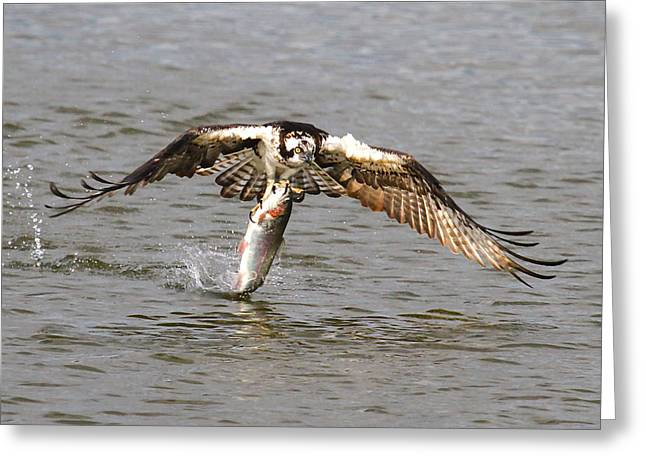 Rainbow Trout Greeting Cards - Osprey Greeting Card by Paul Marto