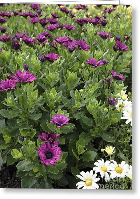Prescott Greeting Cards - Osteospermum flowers Greeting Card by Erin Paul Donovan