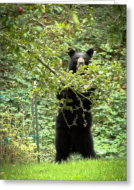 Our Bear Loves Apples Greeting Card by Ronda Broatch