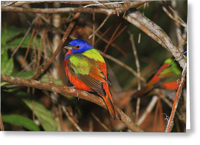 Painted Bunting Greeting Card by John Absher