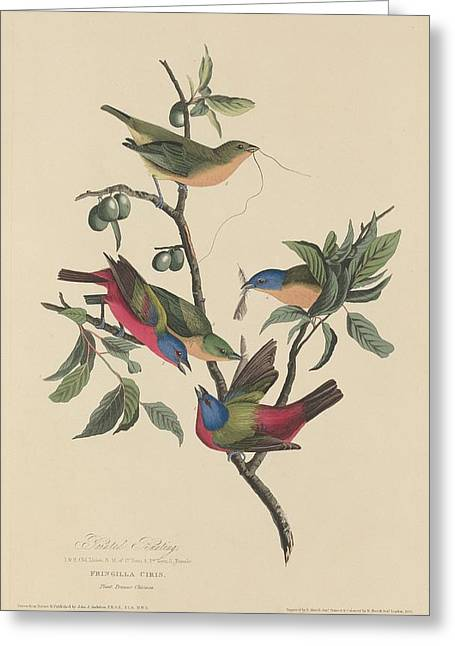 Painted Bunting Greeting Card by John James Audubon