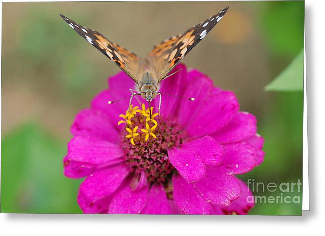Painted Lady Butterflies Greeting Cards - Painted Lady On Zinnia Greeting Card by John Kaprielian