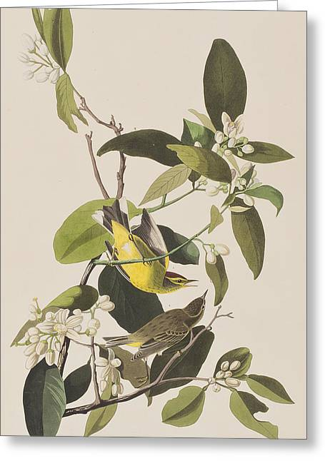 Warblers Greeting Cards - Palm Warbler Greeting Card by John James Audubon