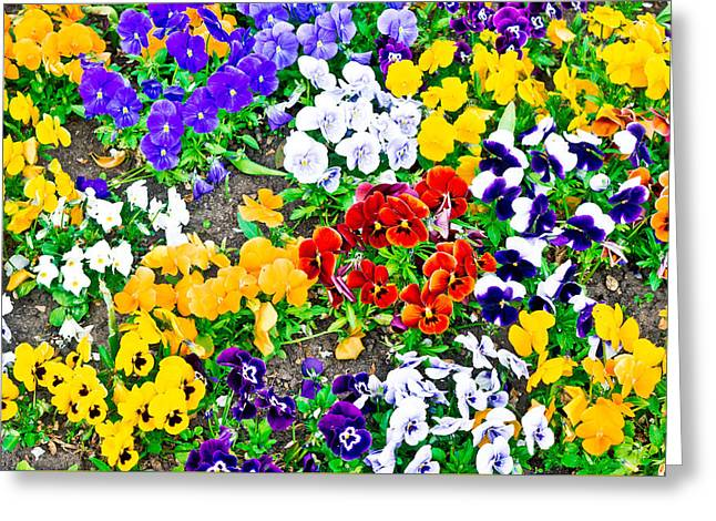 Florescence Greeting Cards - Pansies Greeting Card by Tom Gowanlock