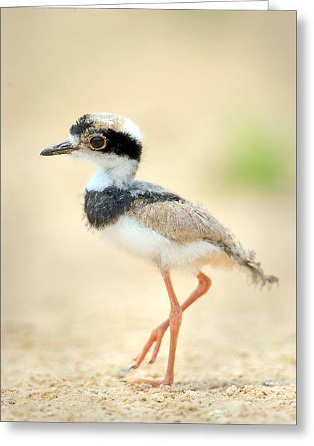 Young Birds Greeting Cards - Pied Plover Vanellus Cayanus Chick Greeting Card by Panoramic Images