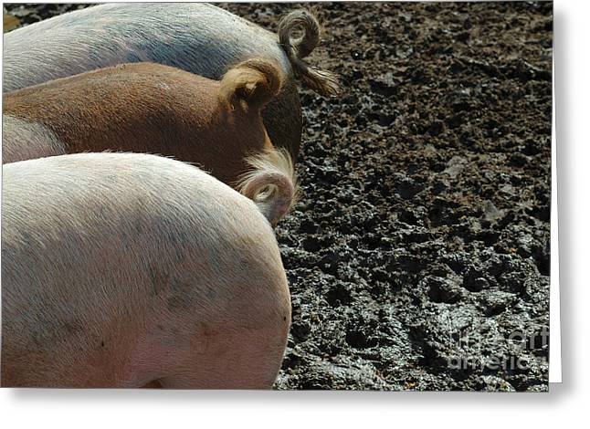 Pig Tails Greeting Card by John Kaprielian