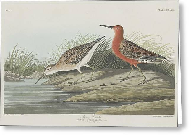 Shorebird Greeting Cards - Pigmy Curlew Greeting Card by John James Audubon
