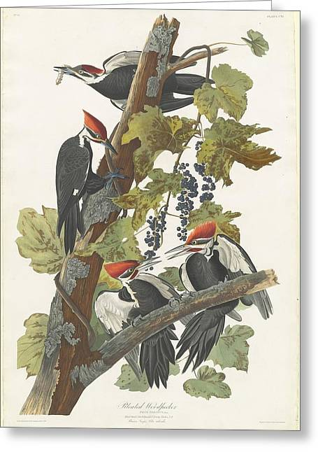 Pileated Woodpecker Greeting Cards - Pileated Woodpecker Greeting Card by John James Audubon