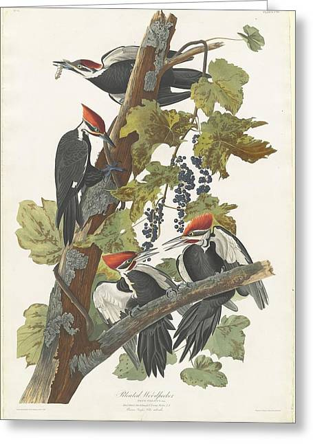 Pileated Woodpeckers Greeting Cards - Pileated Woodpecker Greeting Card by John James Audubon