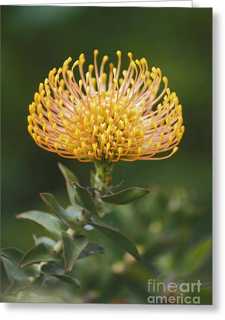 Pin Cushion Greeting Cards - Pin Cushion Protea Greeting Card by Ron Dahlquist - Printscapes