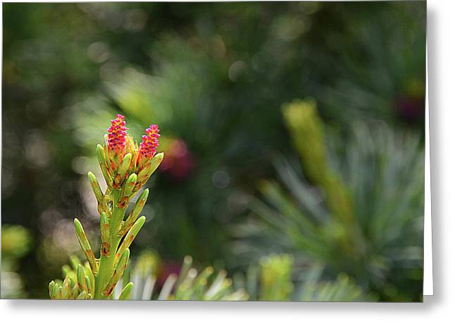 Pine Cones Greeting Cards - Pine Cone Flowers Greeting Card by Paul Causie