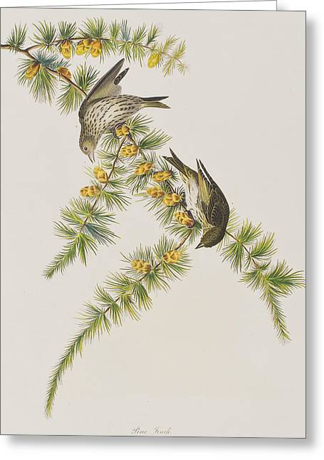Finch Greeting Cards - Pine Finch Greeting Card by John James Audubon