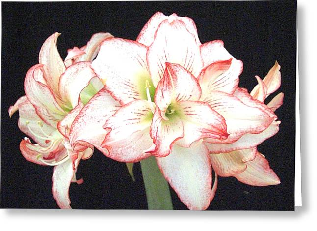Pink And White Amaryllis Group Greeting Card by Frederic Kohli