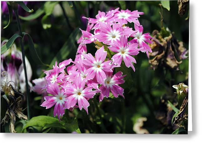 Blooming Greeting Cards - Pink Flowers Greeting Card by Sumit Mehndiratta