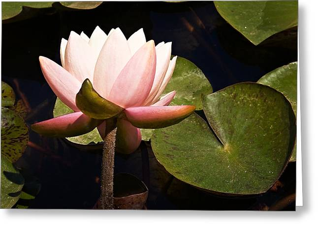 Water Garden Greeting Cards - Pink Water Lily Greeting Card by Marion McCristall