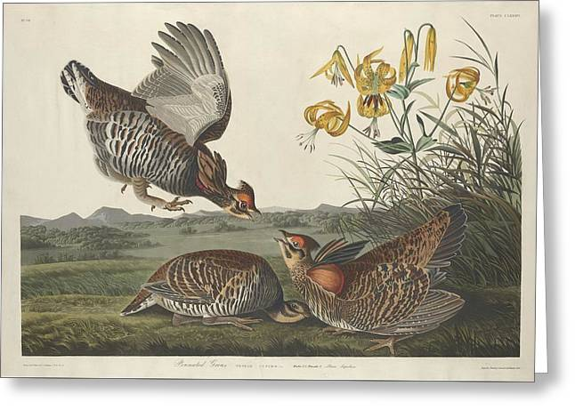 Chicken Greeting Cards - Pinnated Grouse Greeting Card by John James Audubon