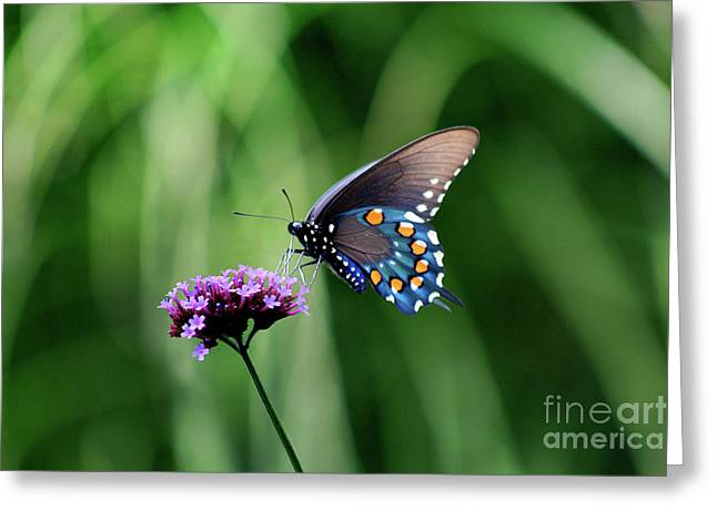 Pipevine Swallowtail Butterfly 2011 Greeting Card by Karen Adams