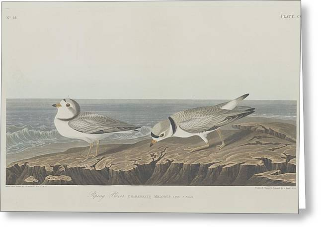 Recently Sold -  - Engraving Greeting Cards - Piping Plover Greeting Card by John James Audubon