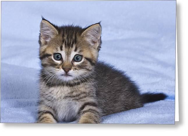 On Blanket Greeting Cards - Playful Tabby Kitten Greeting Card by Jean-Louis Klein & Marie-Luce Hubert