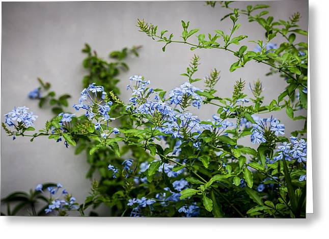 Plumbago Auriculata Painted  Greeting Card by Rich Franco