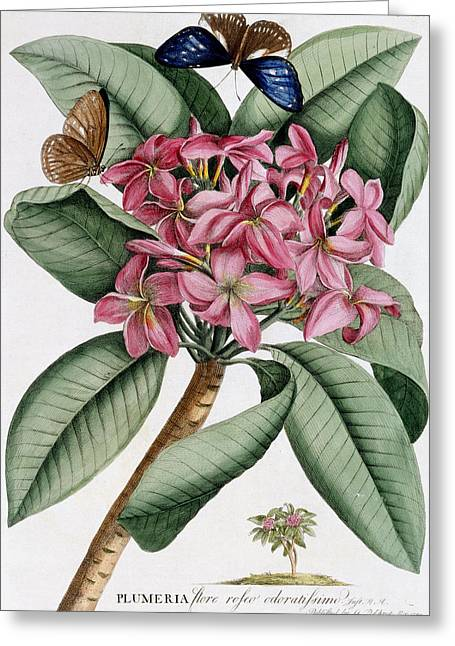 Insects Drawings Greeting Cards - Plumeria Greeting Card by Georg Dionysius Ehret