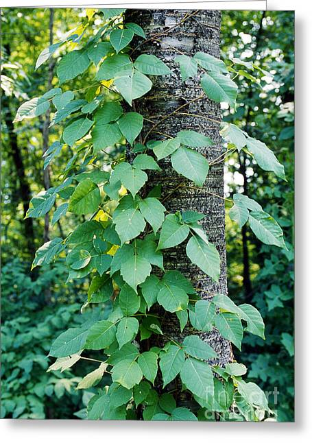 Allergen Greeting Cards - Poison Ivy Greeting Card by John Kaprielian