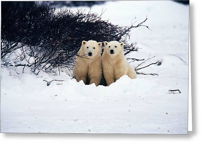 Long Shot Greeting Cards - Polar Bear Cubs, Churchill, Manitoba Greeting Card by Mike Grandmailson