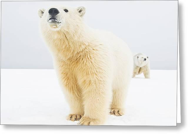 Change The Destination Greeting Cards - Polar Bear  Ursus Maritimus , Curious Greeting Card by Steven Kazlowski