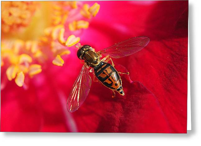 Stinger Greeting Cards - Pollen Feast Greeting Card by Frozen in Time Fine Art Photography