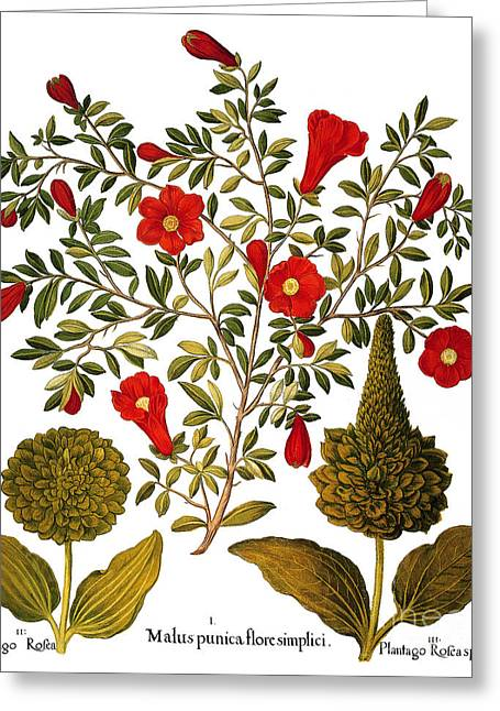 Punica Granatum Greeting Cards - Pomegranate, 1613 Greeting Card by Granger
