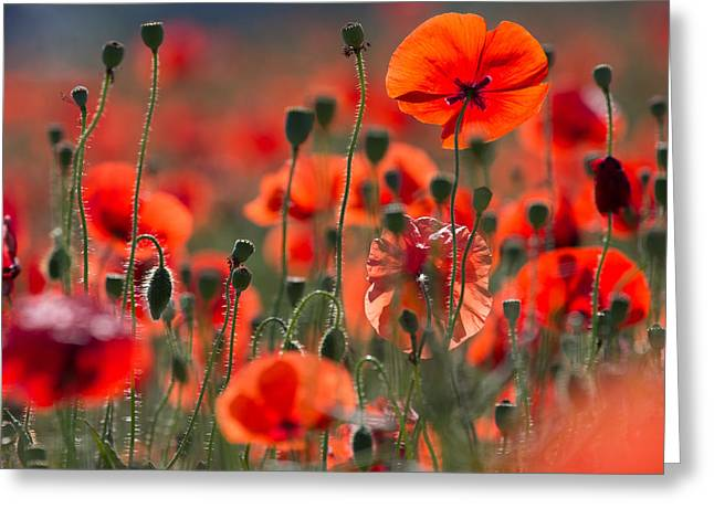Close Up Floral Pyrography Greeting Cards - Poppy Field Greeting Card by Peteris Vaivars