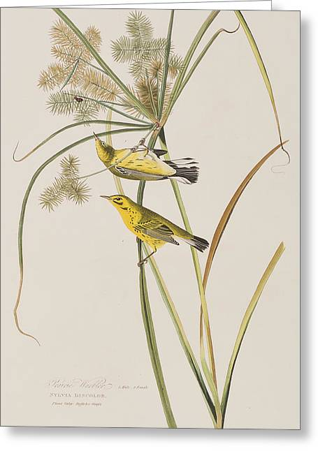 Warblers Greeting Cards - Prairie Warbler Greeting Card by John James Audubon