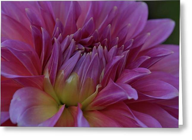 Powder Greeting Cards - Romantic Rose Greeting Card by Patricia Strand