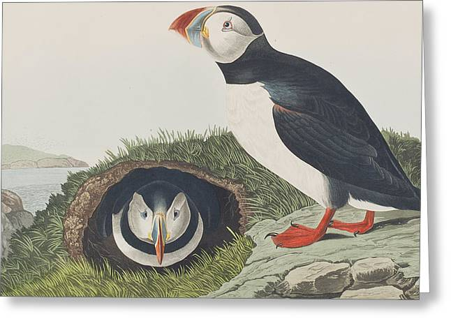 Puffins Greeting Cards - Puffin Greeting Card by John James Audubon