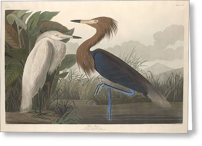 Herons Drawings Greeting Cards - Purple Heron Greeting Card by John James Audubon