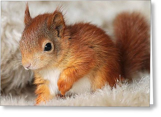 Hamster Drawings Greeting Cards - Squirrel 00700 Greeting Card by Doreen Kamzol