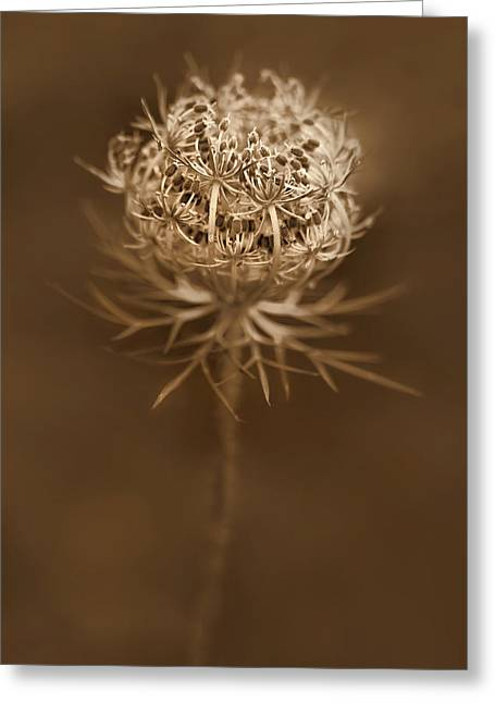 Daucus Greeting Cards - Queen Annes Lace Wildflower Seed Pods Greeting Card by Jennie Marie Schell