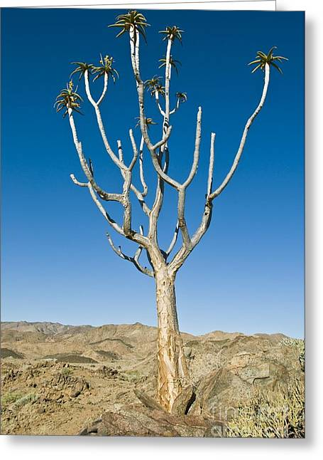 Northern Africa Greeting Cards - Quiver Tree Greeting Card by Peter Chadwick