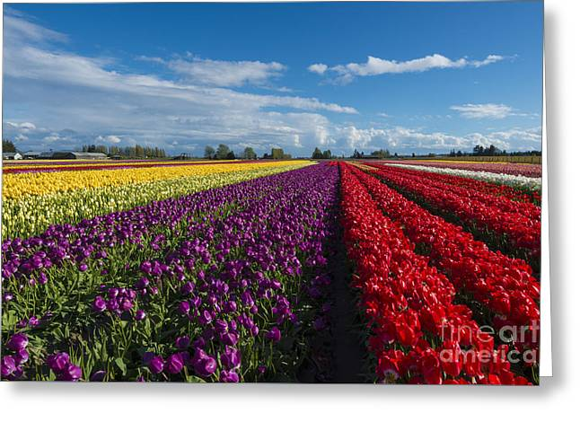 Tulip Fields Greeting Cards - Rainbow Fields Greeting Card by Mike Dawson