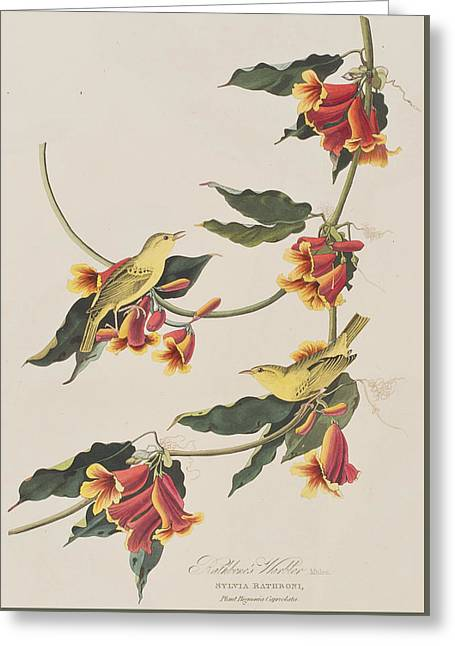 Warblers Greeting Cards - Rathbone Warbler Greeting Card by John James Audubon