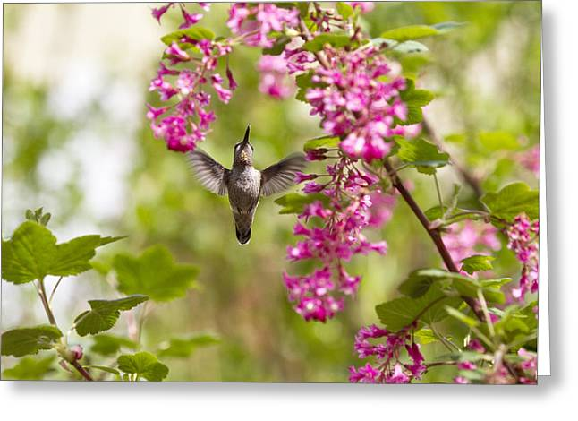 Hummingbirds Greeting Cards - Reach For It Greeting Card by Rebecca Cozart