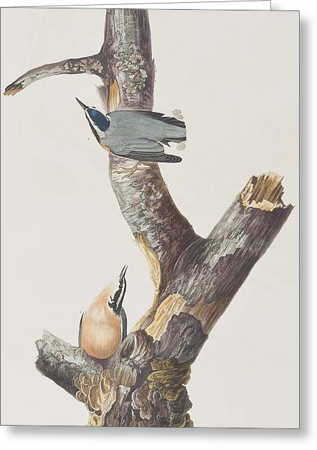 Red Drawings Greeting Cards - Red Breasted Nuthatch Greeting Card by John James Audubon